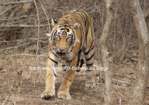 hoe veel tijgers zie je