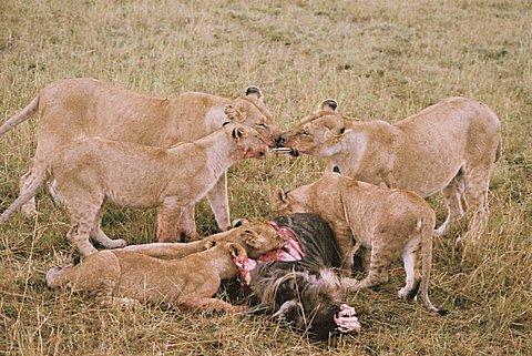 omgeving van de leeuw
