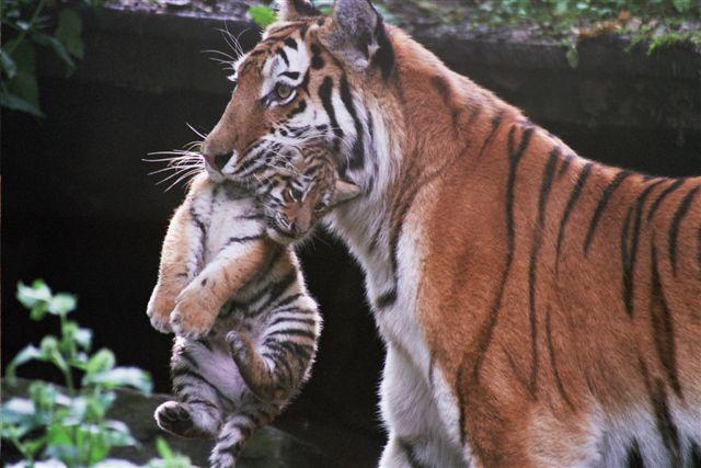 tijger eet mens