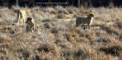 cheetahs Spiky & Speedy
