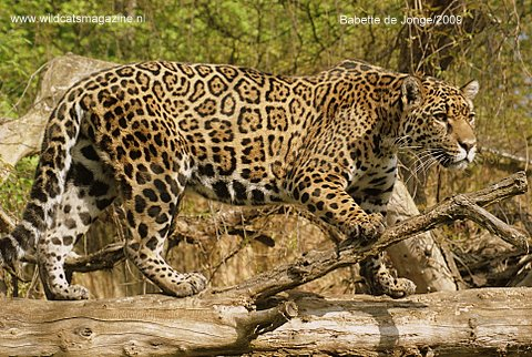 Amazing Jaguar (Panthera Onca)