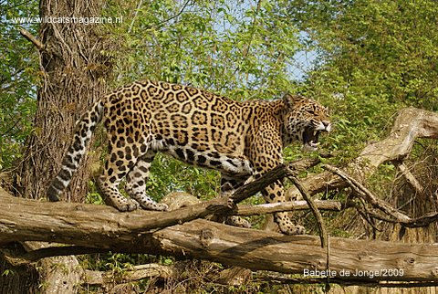 Jaguar Conservation in Costa Rica