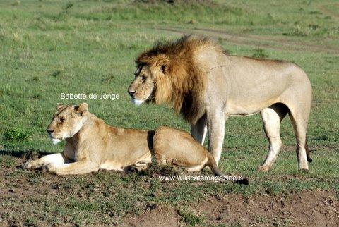 Homosexual behaviour in lions