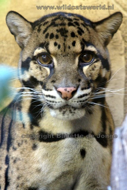 Image result for clouded leopard hanging upside down from tree