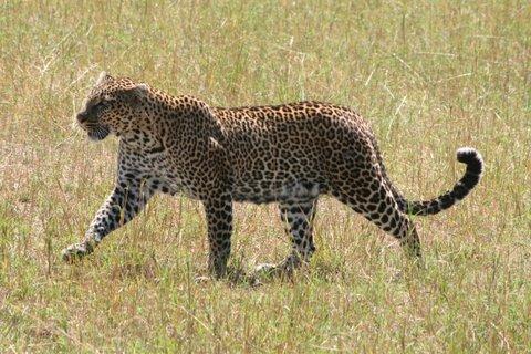 Verschil panter en luipaard