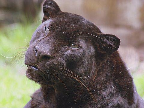 Panter of luipaard panthera pardus wild cats magazine - Na de zwarte bank ...