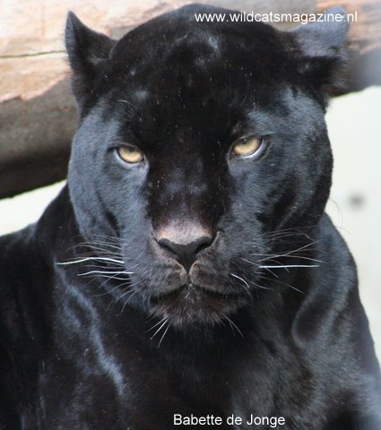 Melanism In Humans