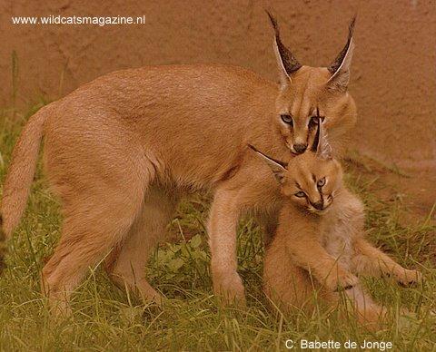 Caracal Or Desert Lynx Felis Caracal Wild Cats Magazine
