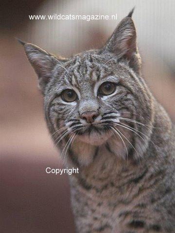 Bobcat Or Red Lynx Lynx Rufus Wild Cats Magazine