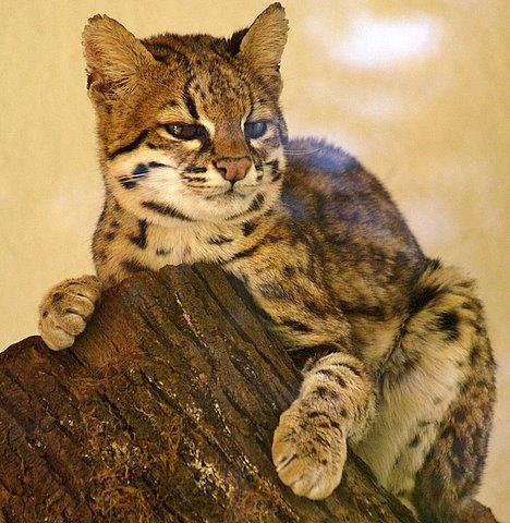 Margay Wild Cat Breeds