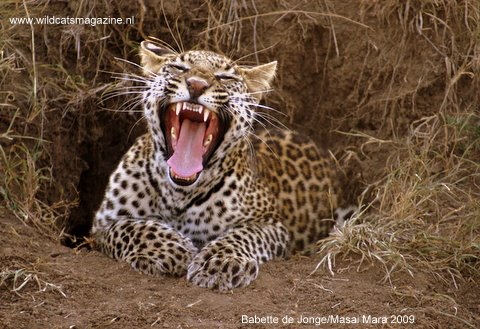 cf95be528b WCW Leopard Conservation Education Project - Wild Cats Magazine
