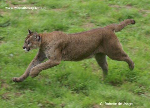 Cougar Puma Concolor Wild Cats Magazine