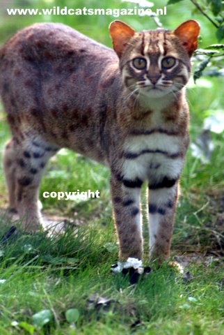 Rusty Spotted Cat Prionailurus Rubiginosus Wild Cats