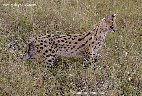 Serval (Leptailurus Serval) - Wild Cats Magazine